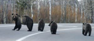 Wyoming's most famous animal might be Bear. No. 399. She's pictured crossing the road with her cubs in 2007. (Photo courtesy Gary Pollock — click to enlarge)