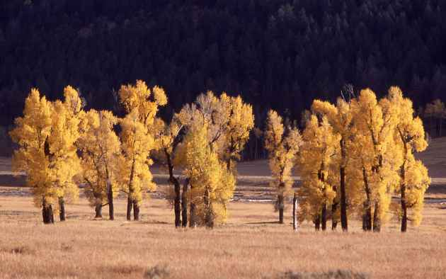 Cottonwoods with fall color in Lamar Valley, Yellowstone National Park. (Courtesy Jim Peaco — Click to enlarge)