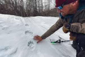 I discovered this set of fresh wolverine tracks. Forrest McCarthy leans down to examine. (photo courtesy Forrest McCarthy – click to enlarge)
