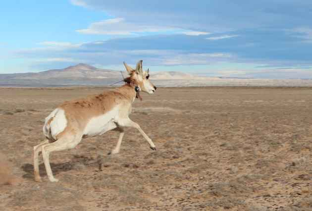A pronghorn is released after being tested and fitted for a collar as part of a study. (Photo Courtesy Lucy Diggins-Wold Wyoming Game and Fish Department – click to enlarge)