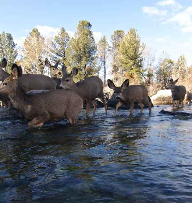 Mule deer cross the outlet of Fremont Lake at Pine Creek during the fall migration. (Joe Riis — click to enlarge)