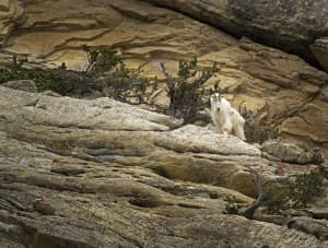 Mountain goat on a cliffside in Yellowstone (Kathy Lichtendahl - click to enlarge)