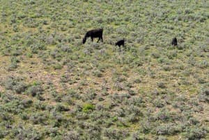 Ranchers are wary that a the U.S. Fish and Wildlife Service might list the sage grouse as threatened or endangered, leading to limitations on grazing on federal lands like this BLM allotment in Sublette County. (Angus M. Thuermer Jr. / WyoFile — click to enlarge)