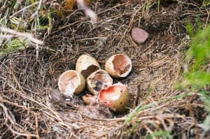 A successful grouse nest near Daniel fledged a family of five grouse in 2004. Such nests are subject to plundering by ravens and other predators, and can be disrupted by cattle and oil and gas development. (Angus M. Thuermer Jr. / WyoFile — click to enlarge)