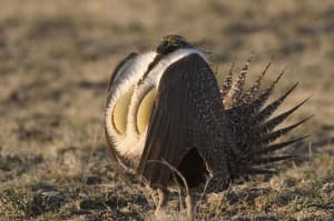 Wyoming strives to convince the federal government that its efforts to preserve sage grouse are enough to keep the bird off the list of endangered species. Federal protection worries many in the state who use the sagebrush country to make a living. (Mark Gocke/Wyoming Game and Fish — click to enlarge)