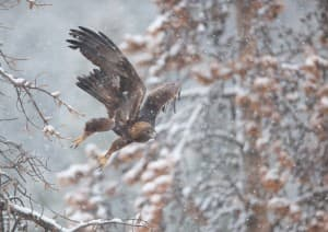 A golden eagle, one of many wildlife species dependent on a healthy environment in Fromont County, takes flight in Sinks Canyon. The Lander BLM plan is the first of many that's expected to be approved this year and may be a template for balancing competing interests for natural resources. (Scott Copeland / click to enlarge)