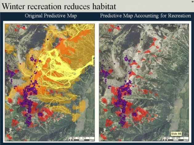 An overlay of skier routes (yellow lines) onto potential sheep winter range (red) suggests that sheep (purple) avoid habitat frequented by skiers. (Alyson Courtemanch — click to enlarge)