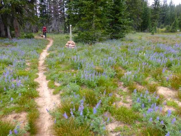 Laurel hikes out through a field of lupine. The trail is marked  by posts emblazoned with the letters CDT, each with a quartz stone balanced on top. (Emilene Ostlind - click to enlarge)