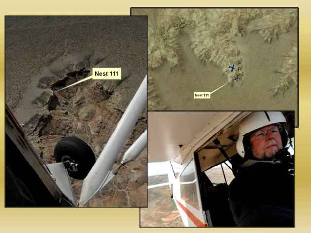 Pilot/research assistant Richard Jones and two views of a Golden Eagle nest from the air. ( Photo by R. Jones - click to enlarge)