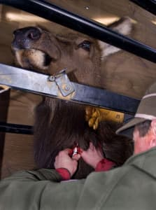 Game and Fish workers routinely test feedground elk for exposure to brucellosis by drawing blood. Use of the Strain 19 vaccine has not shown to reduce the percentage of elk testing positive for the disease, and may have increased that figure. Game and Fish can't show the vaccine causes a significant reduction in elk abortions either. (Mark Gocke/Wyoming Game and Fish — click to enlarge)
