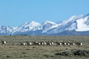 Antelope bunch up while migrating near South Pass. Videos and photography can help the public understand complex biological problems, members of the Wyoming Migration Initiative believe. (Scott Copeland — click to enlarge)
