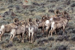 The Torrey Creek bighorn ram herd is world famous, only because it can migrate from summer to winter range. The herd spends much of the year in roadless areas. (Scott Copeland — click to enlarge)