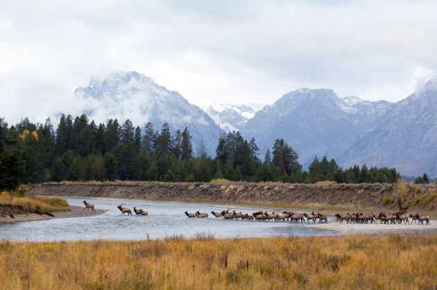 Elk migrate across the Snake River in Grand Teton National Park. This herd likely crossed the Teton Wilderness, within a mile of this spot, in its annual trek. (Scott Copeland — click to enlarge)