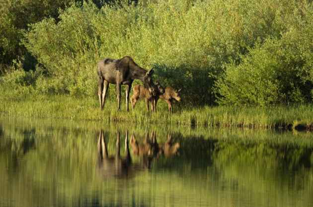 A moose and twin calves stroll the shore of Louis Lake in the Shoshone National Forest. Some moose migrations are made exclusively through wilderness areas. (Scott Copeland — click to enlarge)