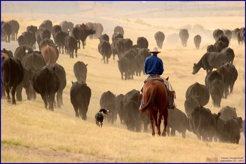 Image result for cattle drive