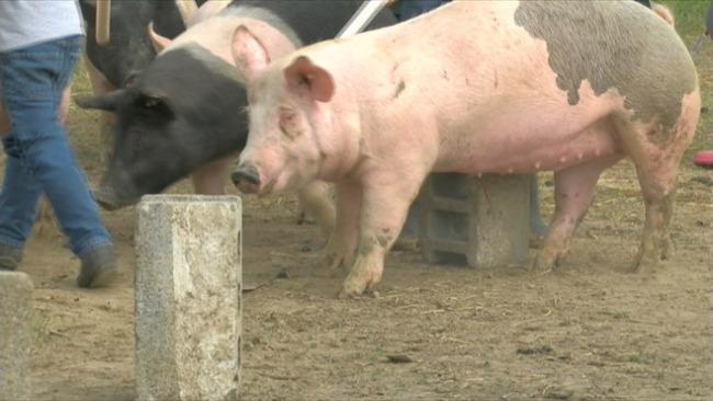 Livestock pig Canfield Fair_50245