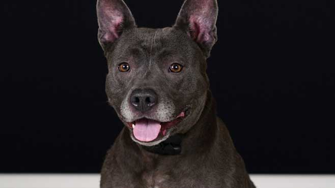 Bat Girl is medium, adult Pit Bull Terrier_57959
