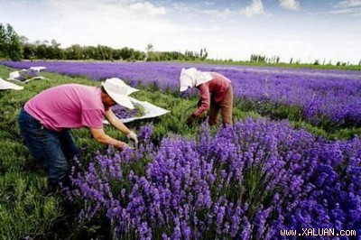 Hoa oải hương vào mùa thu hoạch tại Tân Cương, Trung Quốc.