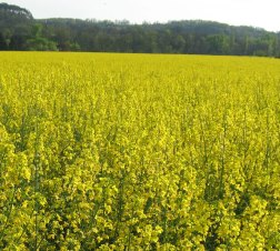 RapeSeed Fields South of France