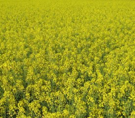 RapeSeeds Yellow flowers