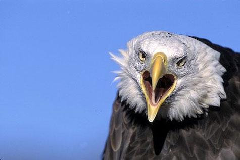Angry eagle