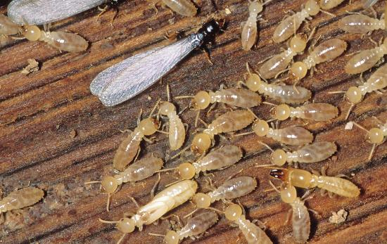 wood termites | Xcellence Inspection Services | Spot termites Chicago
