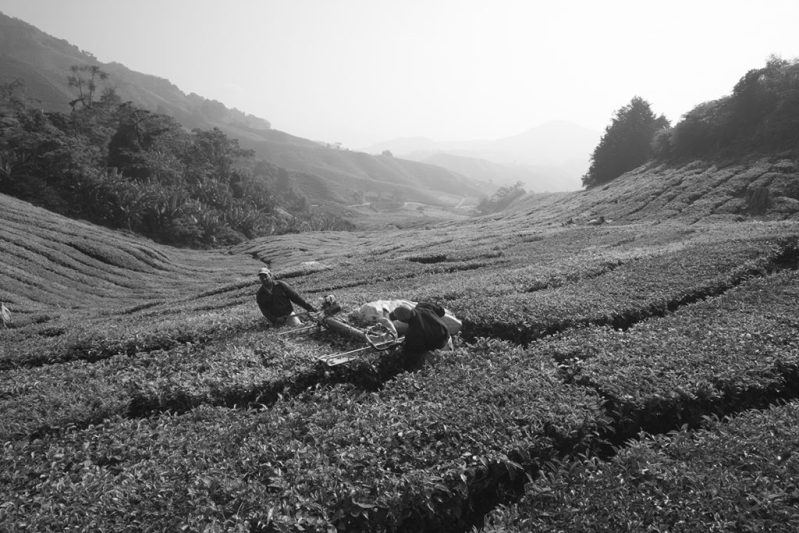 SummerImHerbscht III: Cameron Highlands