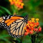 Dato Curioso: ¿Cómo hacen las mariposas Monarca para orientarse?