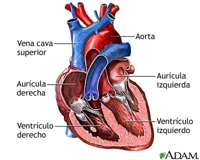 Dato Curioso: El corazón humano late 100mil veces cada día. - SRI ...