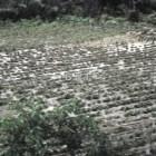 Afectación de cultivos provocará aumento de granos básicos: Chapingo