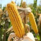 Lo mejor de Oaxaca El maíz criollo del campo mixteco