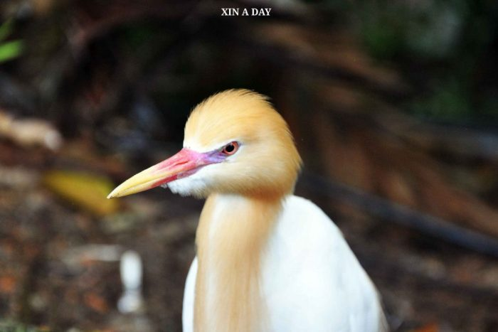牛背鹭 (Cattle Egret)