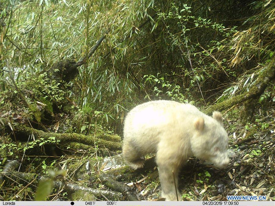 China Focus: Rare all-white panda spotted in China | CHINDIA