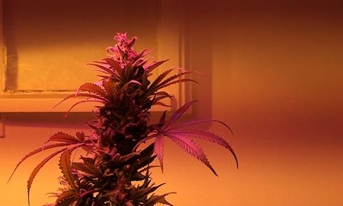 פרח תחת תאורת לד