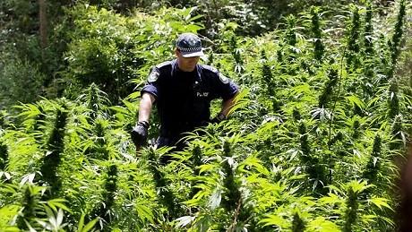 המשטרה האוסטרלית פושטת על שדה גידול לא חוקי