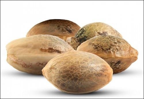 צורתם החיצונית וגודלם של הזרעים הם אינם מדד לאיכותם (זרעי קנאביס)