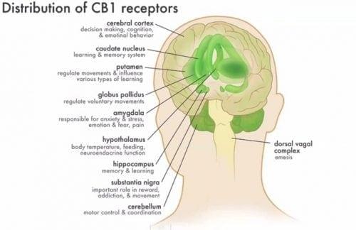 פרישת קולטני המערכת האנדוקנאבינואידית במוח ובראשית מערכת העצבים – השפעה נרחבת על כלל חלקי המערכת