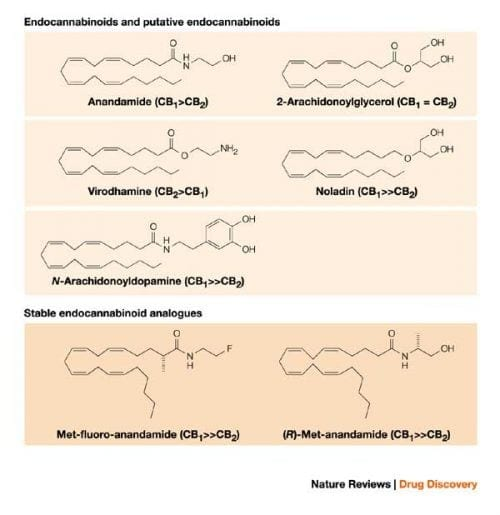 אנדוקנאבינואידים שונים והתאמתם לסוגי הקולטנים העצביים