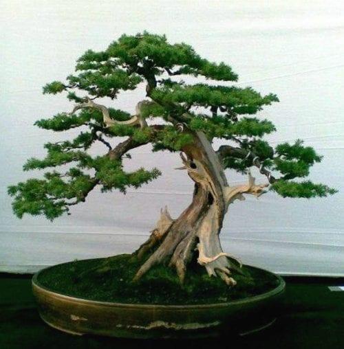עץ בונסאי רגיל