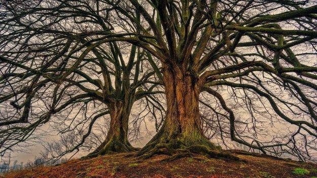 שני עצים שוממים גדולים וחזקים
