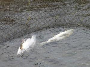 Погибающая рыба