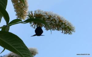 Holzbiene und Schmetterlingsflieder_ P1060677