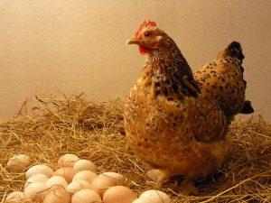 Høne og æg