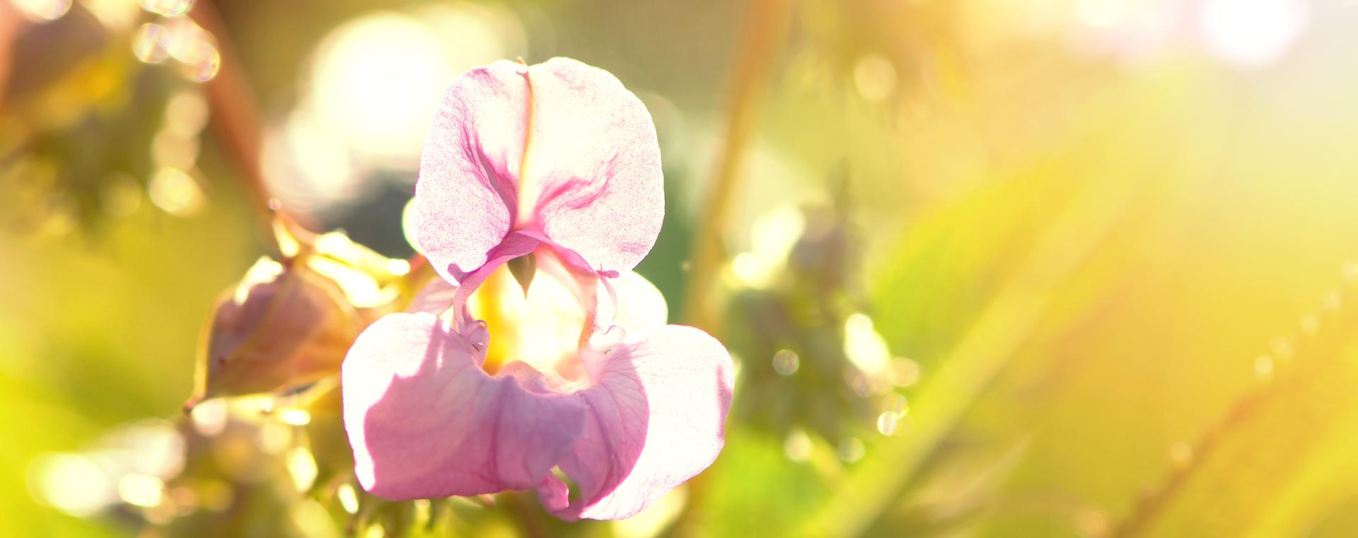 Impatiens Drüsentragendes Springkraut Einsamkeit Lemon Pharma Original Bachblüten