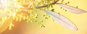 Olive Desinteresse an der Gegenwart Lemon Pharma Original Bachblüten