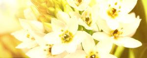 Star of Bethlehem Doldiger Milchstern Verzagtheit und Verzweiflung Lemon Pharma Original Bachblüten