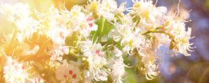 White Chestnut Weisse Kastanie Desinteresse an der Gegenwart Lemon Pharma Original Bachblüten