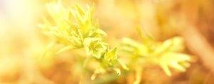 Scleranthus Einjähriger Knäuel Unsicherheit Lemon Pharma Original Bachblüten