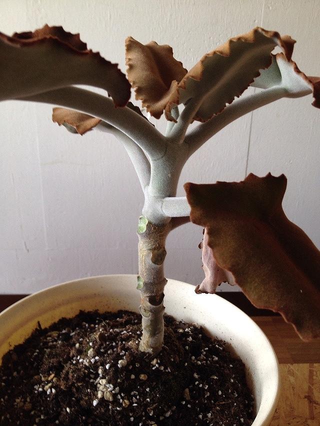 葉っぱも枝も幹も産毛でフワフワ かわいい観葉植物の名前は?