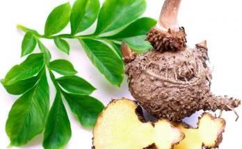 Des usages traditionnels et des bénéfices potentiels sur la santé de la plante de Konjac